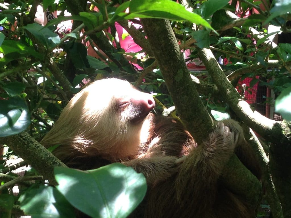 Sloth at Jaguar Rescue Center in Puerto Viejo Costa Rica