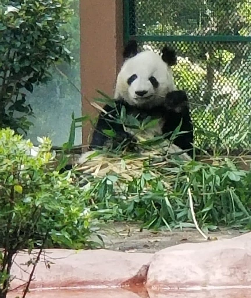 Panda at Ciudad Mexico zoo