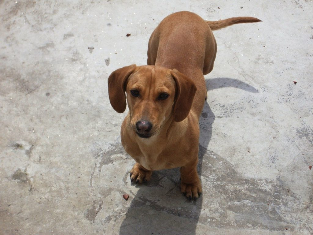 brown Dachshund lstanding on concrete floor ooking at the camera