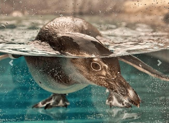 Aquarium of the Pacific Penguins