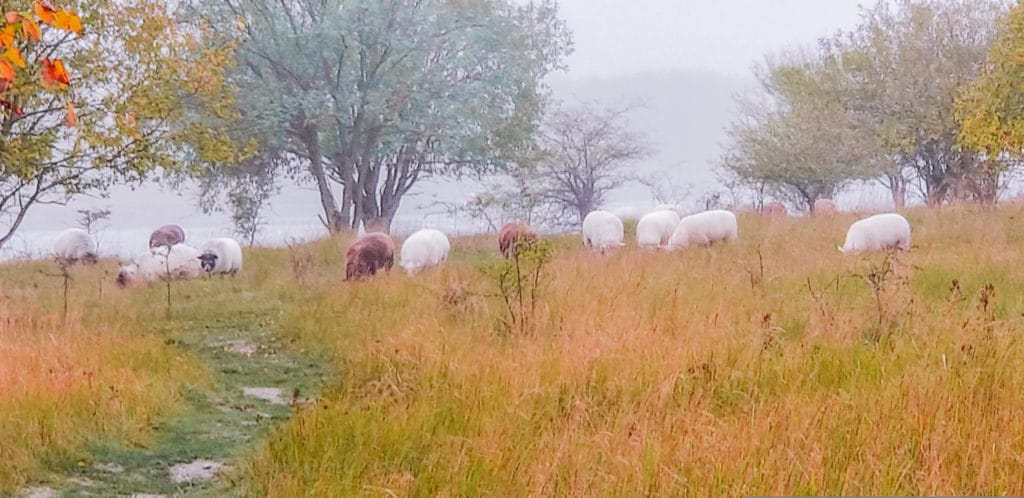 Herd of sheep in a grassy field on a rainy day Copenhagen, Denmark