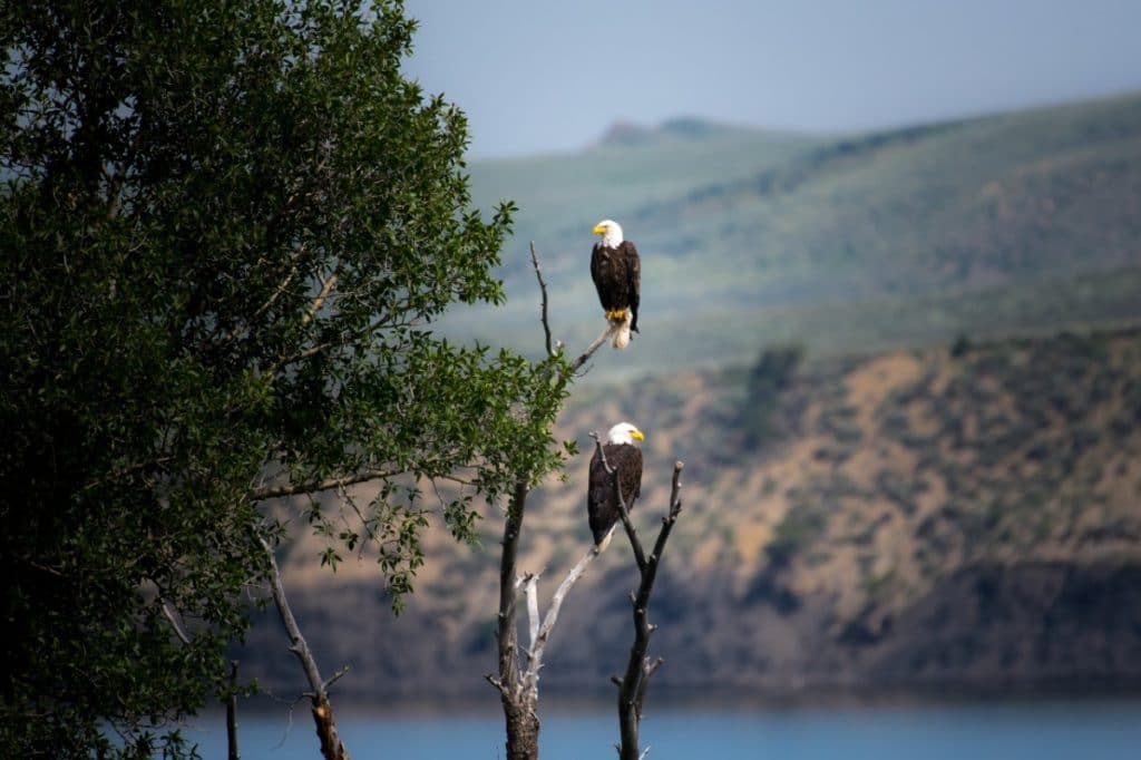 Bald Eagles - Squamish Attractions