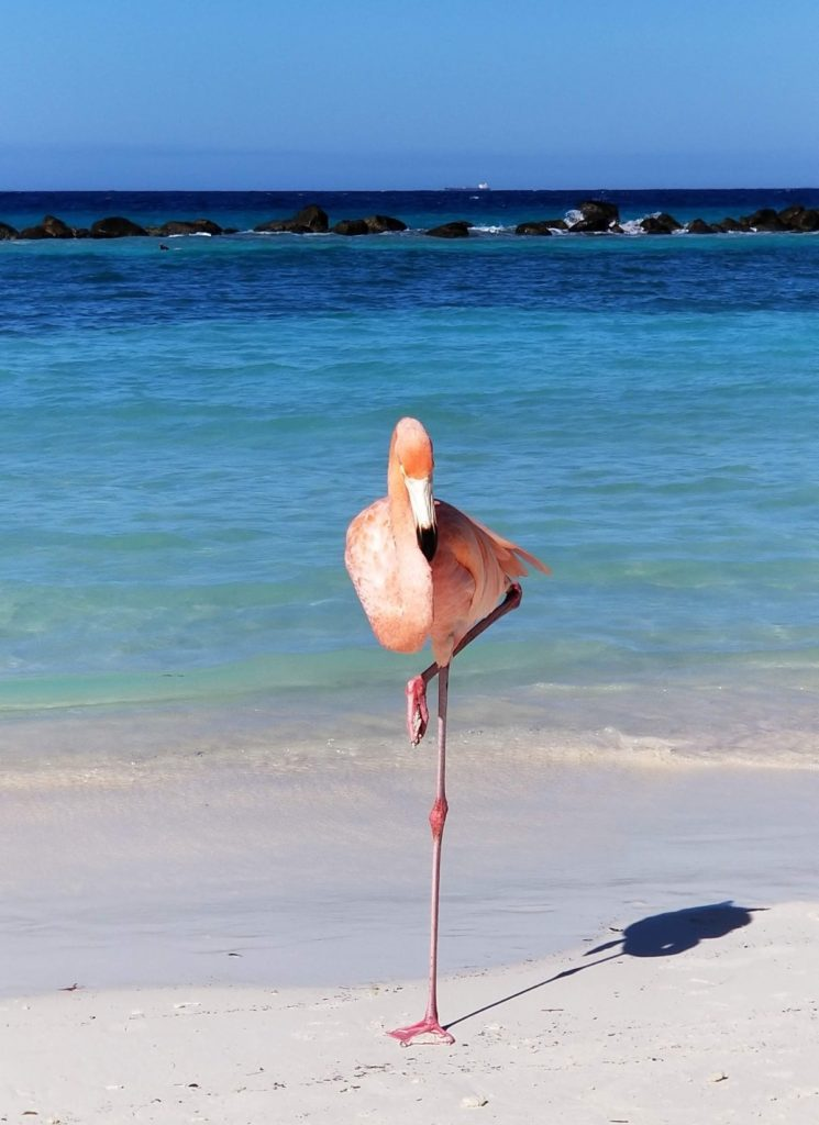 Flamingo at Flamingo Beach Aruba