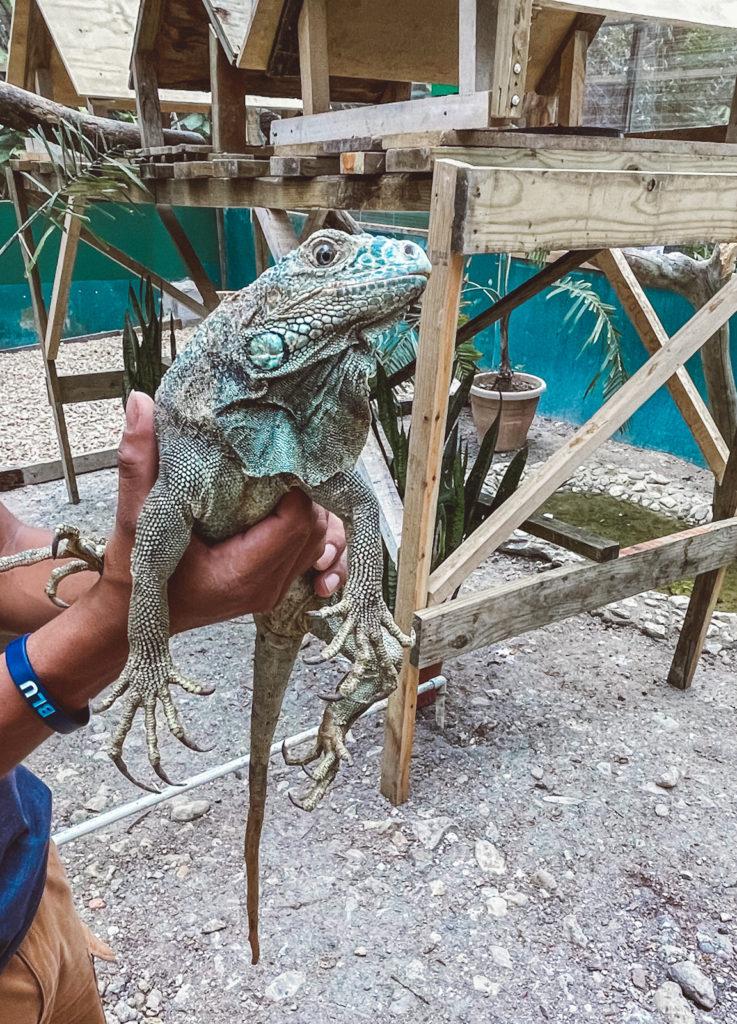 San Ignacio Iguana Project